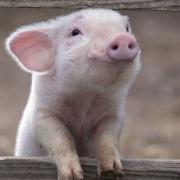 isaspsus analisis seminal cerdo